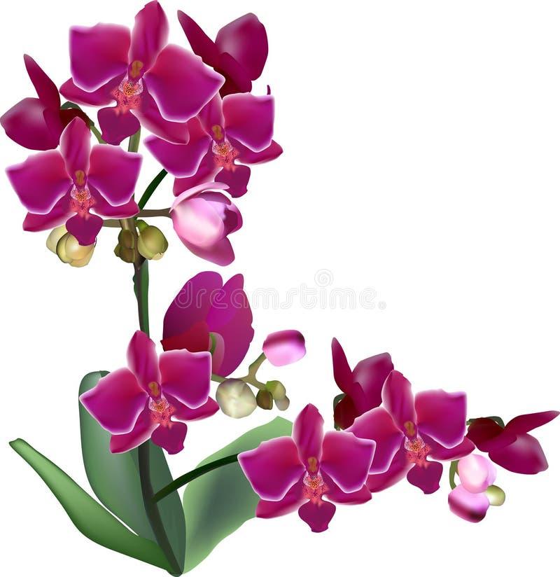 Lokalisierte große purpurrote Orchidee blüht auf zwei Stämmen lizenzfreie abbildung