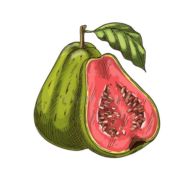 Lokalisierte Ikone des Vektors der tropischen Frucht der Guave Skizze vektor abbildung