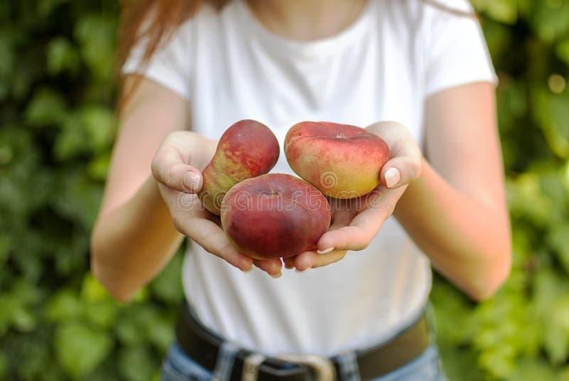 Lokalisierte junge Frau, die einige rote flache Pfirsiche in ihren Händen hält Prunus- persicaplatycarpa Chinese, flacher Pfirsic lizenzfreies stockbild