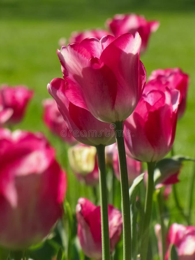 Lokalisierte mittlere rosa Tulpen mit St?mmen lizenzfreie stockfotografie