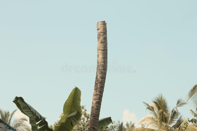 Lokalisierte Palme ohne die Niederlassungen lizenzfreie stockbilder