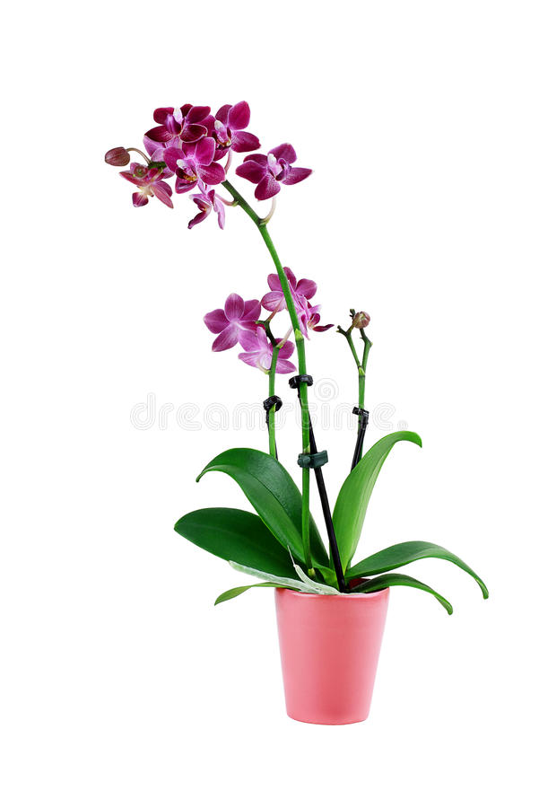 Lokalisierte purpurrote Phalaenopsis-Orchideen-Blume stockbilder