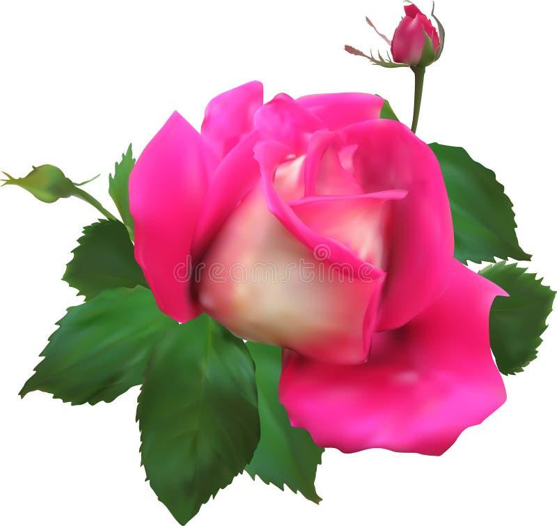 Lokalisierte Rosarosenblüte und zwei Knospen lizenzfreie abbildung