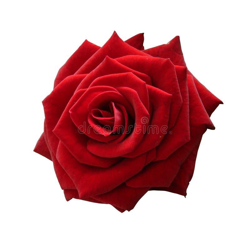 Lokalisierte rote Rose, zum von LIEBE in allen Arten Weisen auszudrücken Weiß lokalisierter Hintergrund Keine Schatten Mit Beschn stockfotografie