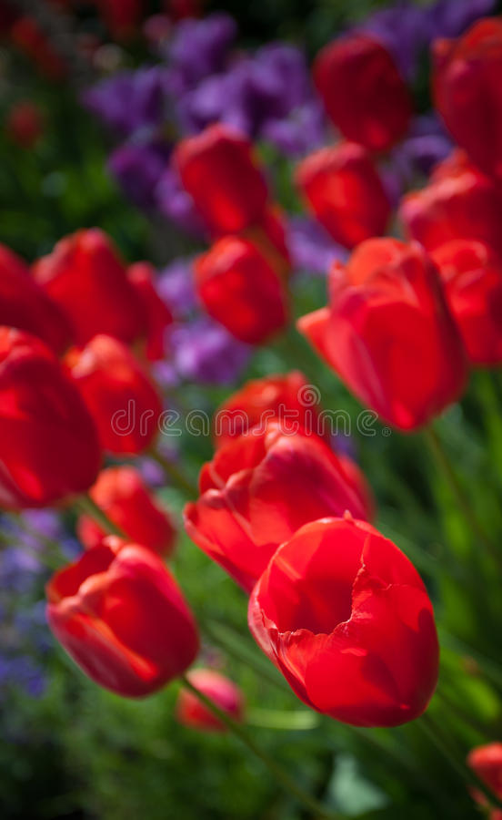 Lokalisierte rote Tulpe lizenzfreie stockbilder