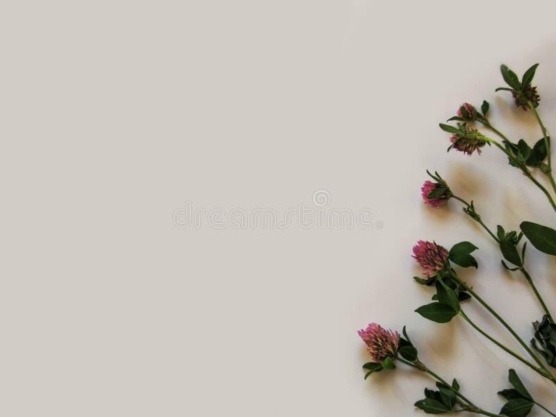 Lokalisierte Stiele des Klees auf einem grauen Hintergrund - der abstrakte Blumenhintergrund stockbild