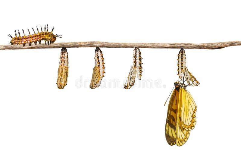 Lokalisierte Umwandlung gelben coster Schmetterling Acraea-isso stockbilder