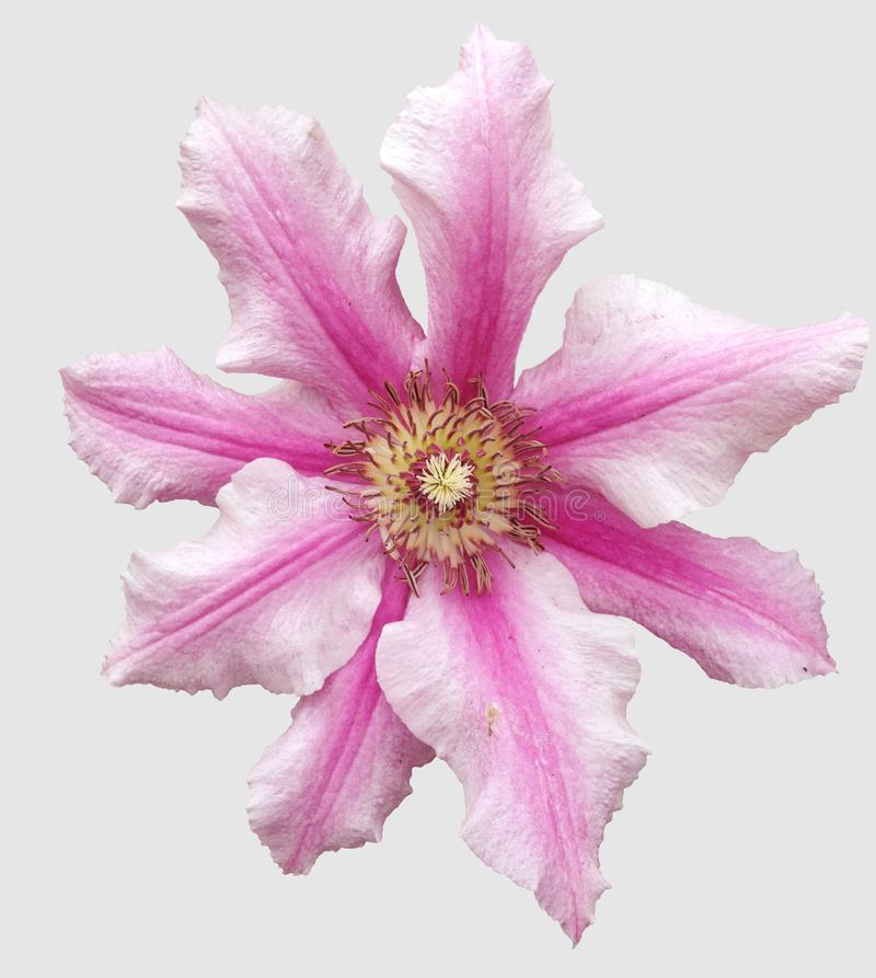 Lokalisierte weiße und rosa Klematisblume stockfotos