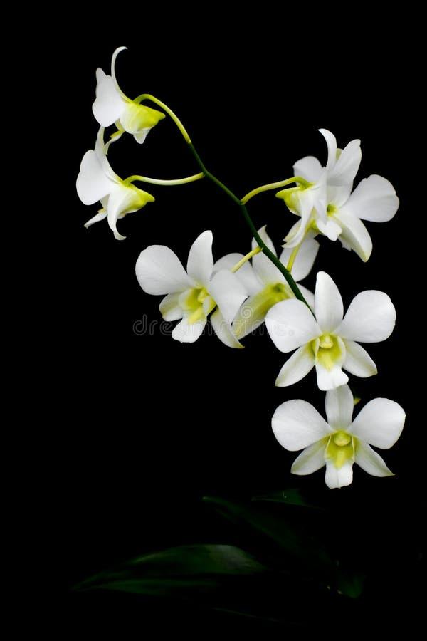 Lokalisierte weiße Orchideen-Blume, schwarzer Hintergrund stockfotos