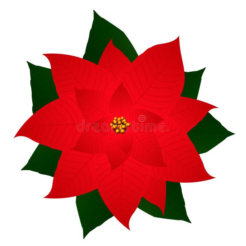 Lokalisierte Weihnachtsblume ist- die Poinsettias auf einem weißen backgrou vektor abbildung