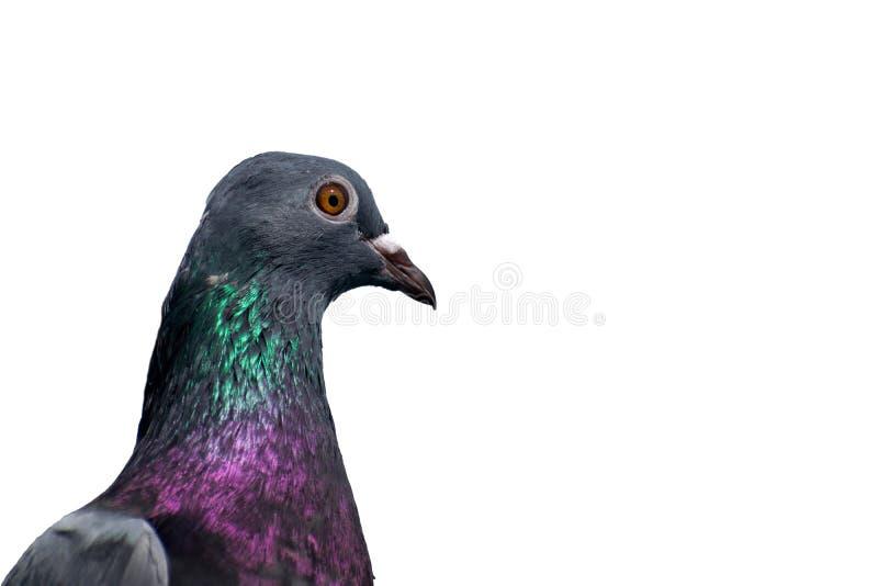 lokalisierter grüner necked wilder Taubenvogelabschluß herauf Ansicht stockfotografie