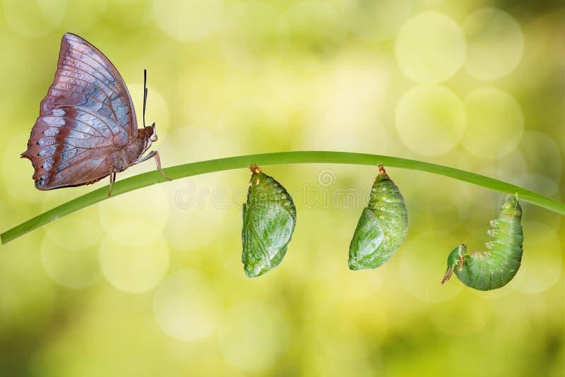 Lokalisierter Lebenszyklus von Tawny Rajah-Schmetterling stockfotografie