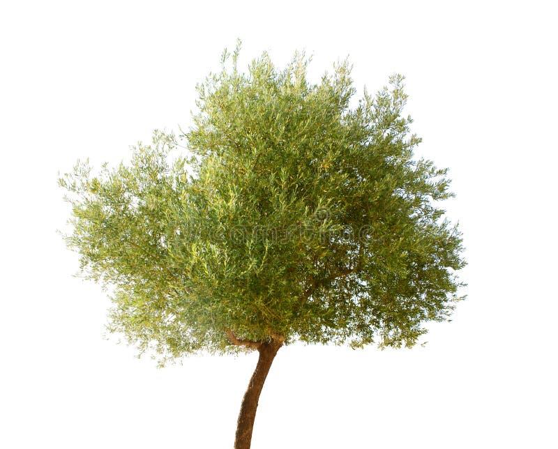 Lokalisierter Olivenbaum lizenzfreies stockbild