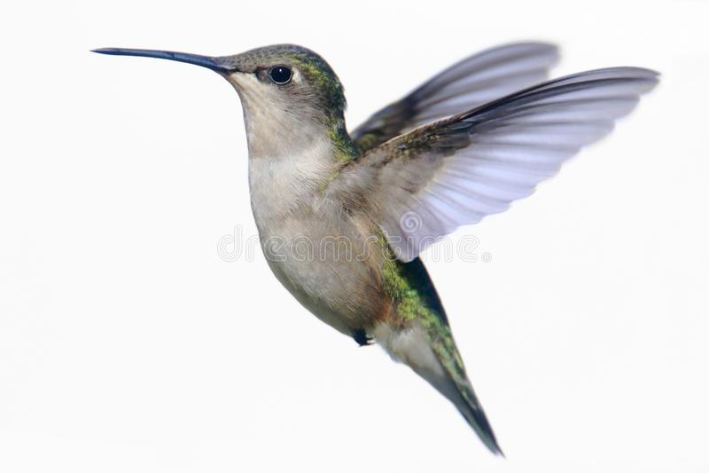 Lokalisierter Rubin-throated Kolibri auf Weiß stockbild