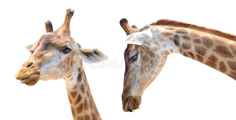 Lokalisierter weißer Hintergrund der Giraffe Kopf mit Beschneidungspfad lizenzfreies stockfoto