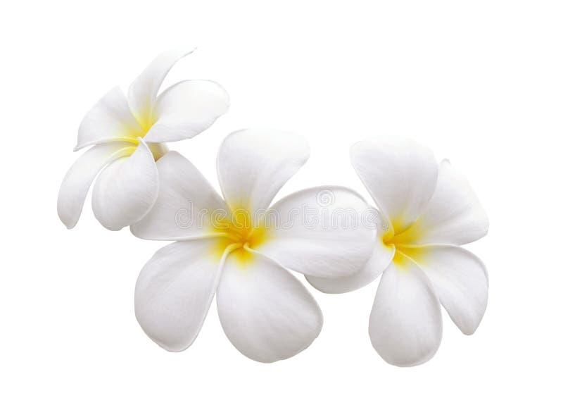 Lokalisierter weißer Hintergrund des Frangipani Blume stockfotografie