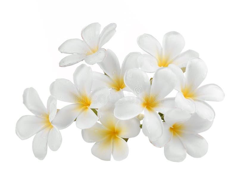 Lokalisierter weißer Hintergrund des Frangipani Blume lizenzfreies stockbild