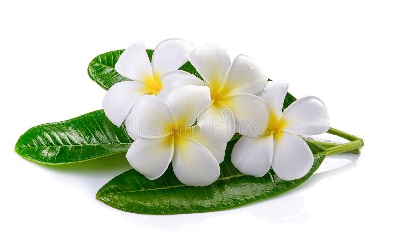 Lokalisierter weißer Hintergrund des Frangipani Blume stockfotos