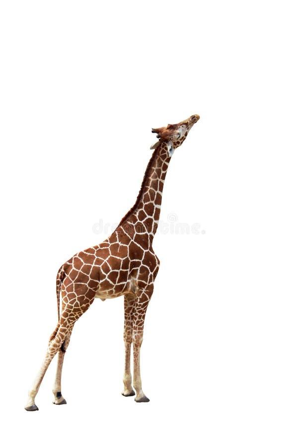 Lokalisiertes Bild der Giraffe hoch erreichend, um sich einzuziehen stockbilder