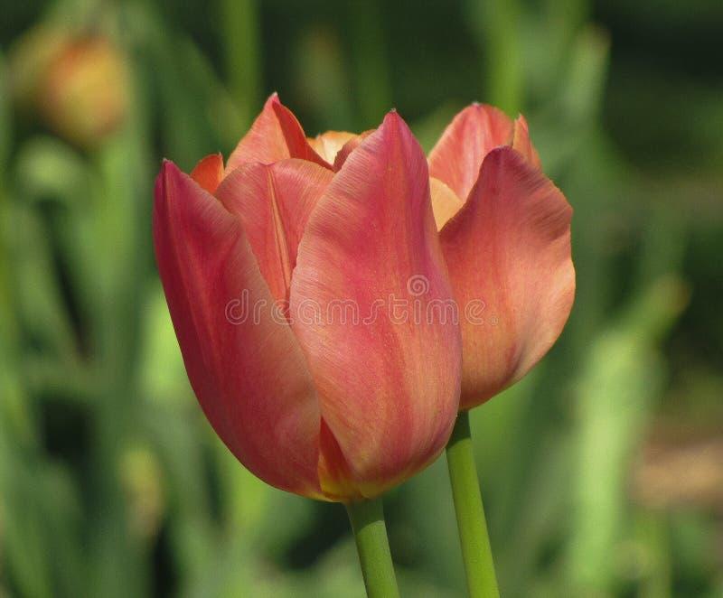 Lokalisiertes Rosa, Orange, Pfirsich-Pastelltulpe lizenzfreie stockbilder