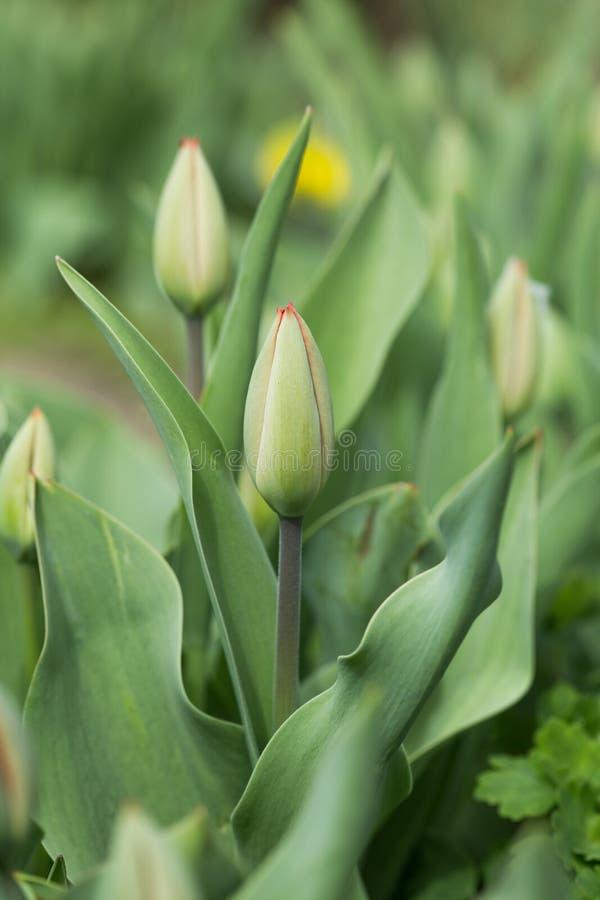 Lokalisierung auf dem Weiß Schöne Tulpen blühen im Tulpenfeld am Winter- oder Frühlingstag Bunte Tulpenblume im Garten Schönes tu lizenzfreie stockbilder