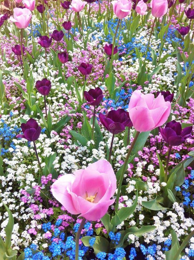 Lokalisierung auf dem Weiß Schöne Tulpen im Tulpenfeld stockbild