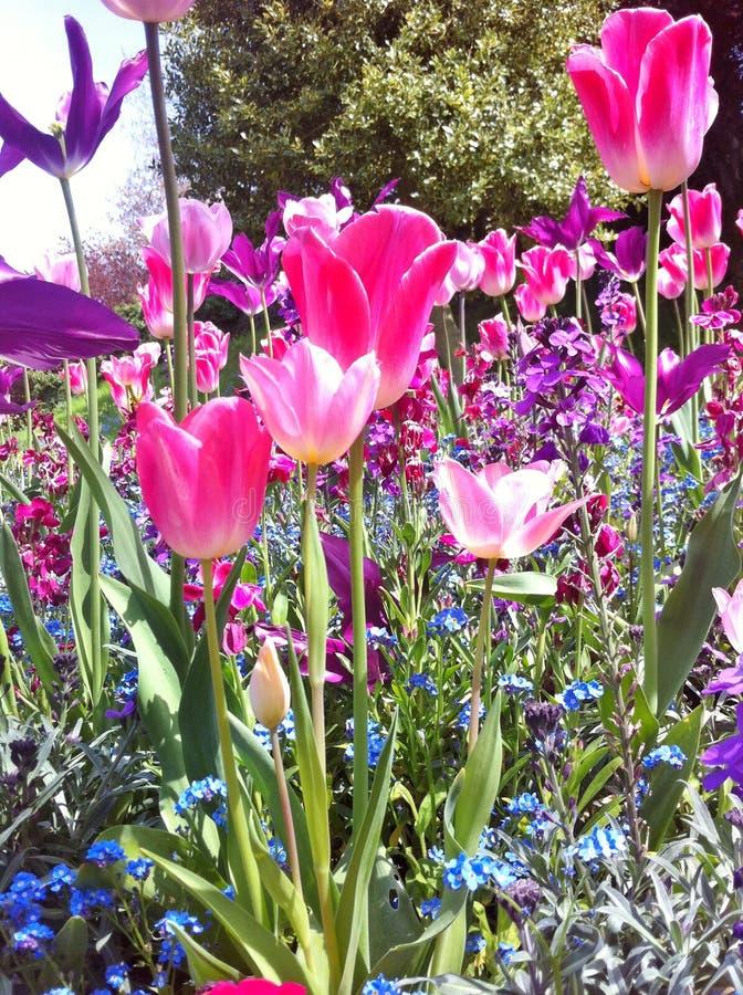 Lokalisierung auf dem Weiß Schöne Tulpen im Tulpenfeld lizenzfreie stockfotografie