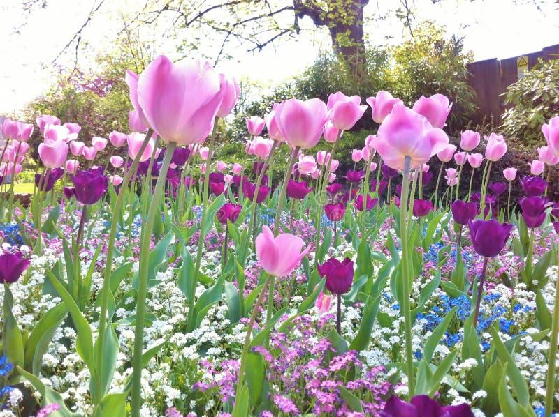 Lokalisierung auf dem Weiß Schöne Tulpen im Tulpenfeld stockbilder
