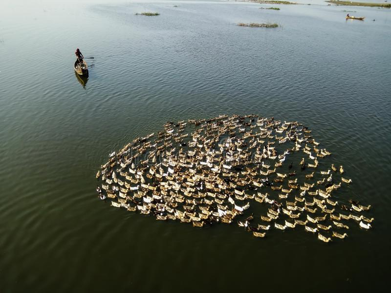 LokalMandalay byinvånare på träfartyget med hans flock av änder i Taung Tha man sjön nära bron för U Bein arkivbild