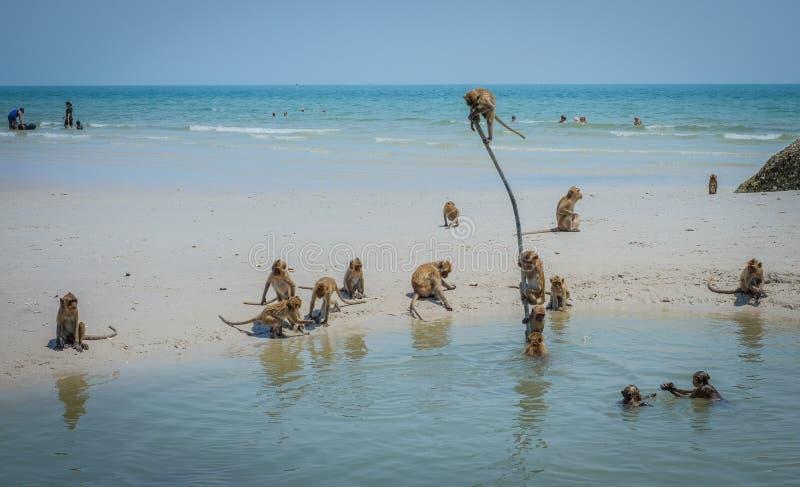 Lokalna dzika małpy sztuki Hua Hin plaża Tajlandia obraz stock
