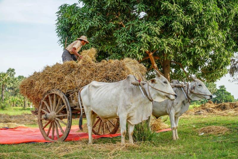 Lokalnego mężczyzna Rozładunkowy siano od Wołowej fury w Myanmar Birma fotografia royalty free