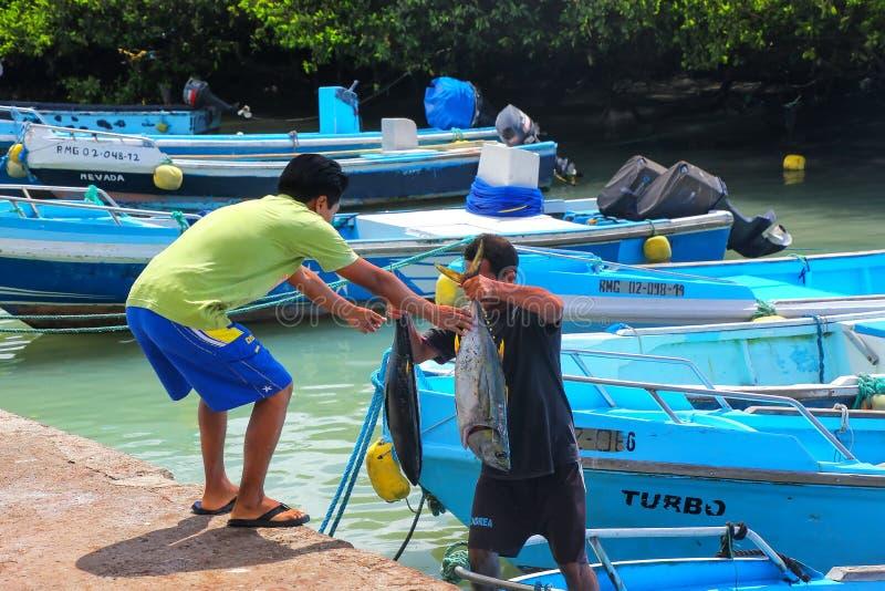 Lokalnego mężczyzna rozładunkowy tuńczyk przy rybim rynkiem przy Puerto Ayora, San obraz royalty free