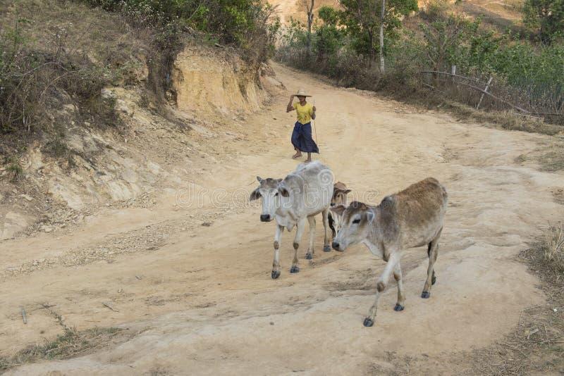 Lokalny Birmański rolnik z bydłem, Birma zdjęcie stock