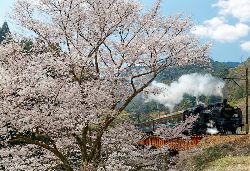 Lokalny pociąg podróżuje na linia kolejowa moście kwitnącym czereśniowego okwitnięcia Sakura drzewem blisko Sasamado stacji obrazy royalty free