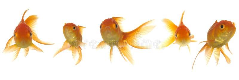 lokking的金鱼 库存照片