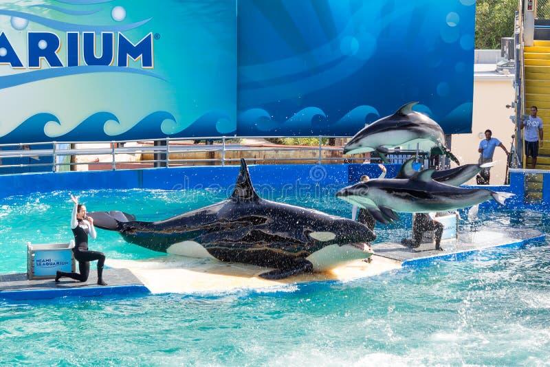 Lolita, η φάλαινα δολοφόνων στο Μαϊάμι Seaquarium στοκ φωτογραφία με δικαίωμα ελεύθερης χρήσης