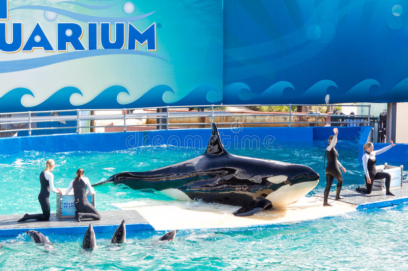 Lolita,the killer whale at the Miami Seaquarium. Founded in 1955,the oldest oceanarium in the United States,the facility receives over 500,000 visitors annually royalty free stock images