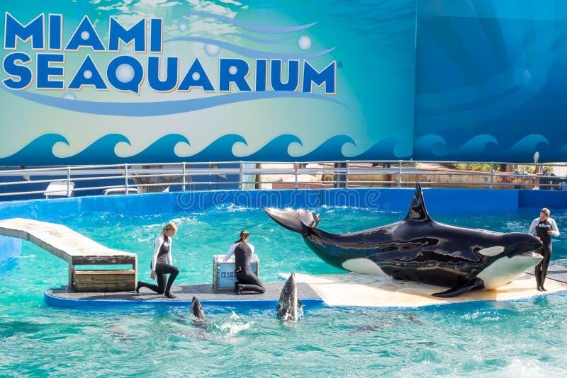 Lolita,the killer whale at the Miami Seaquarium. MIAMI,US – DECEMBER 8,2013:Lolita,the killer whale at the Miami Seaquarium.Founded in 1955,the oldest stock photos