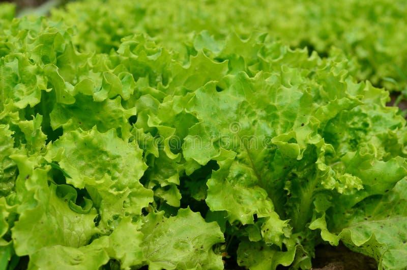 Lollo Bionda Lettuce fotografia stock libera da diritti