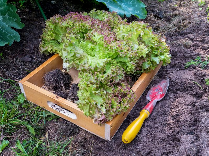 Lollo Rosso coral lettuce salad in the wooden box. Lollo Rosso coral lettuce salad heads in the wooden box. Green vegetables harvesting in the organic garden royalty free stock photo