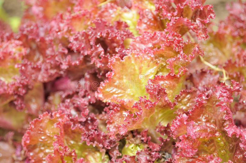 Lollo Rosso Lettuce Close-Up royalty free stock images