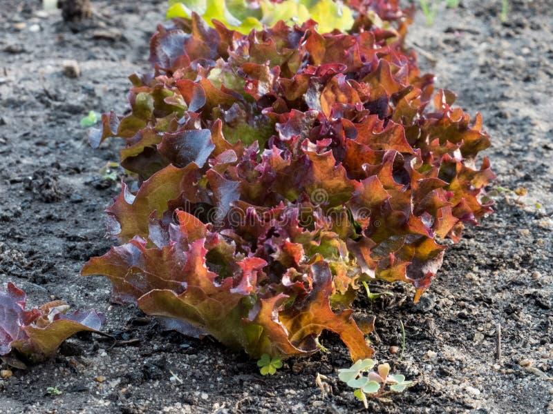 Lollo Rosso Lettuce orgánico foto de archivo