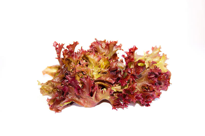 Lolo rosso or coral lettuce isolated on the white background. Red leaf lolo rosso or coral lettuce, hydroponic vegetable on white background royalty free stock photography