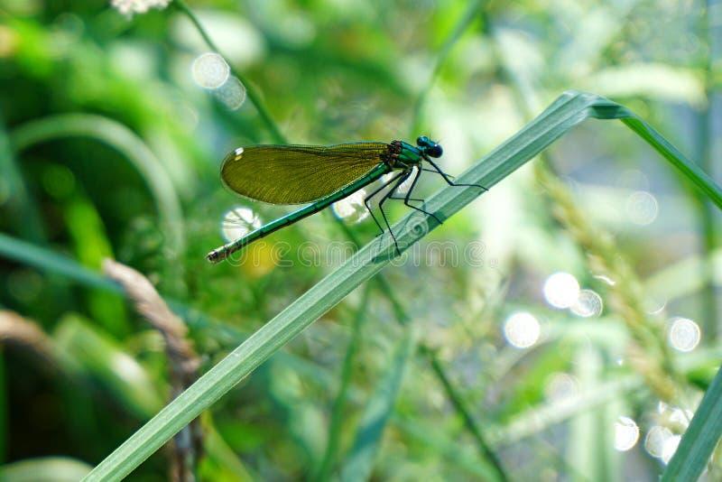 Lombardía, a lo largo del río de Adda, libélula que presenta en la flor imagen de archivo libre de regalías