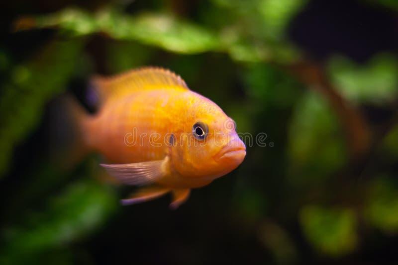 Lombardoi di Pseudotropheus del pesce dell'acquario dalla famiglia delle cichlidae fishi colorato giallo arancione luminoso Fuoco fotografia stock libera da diritti