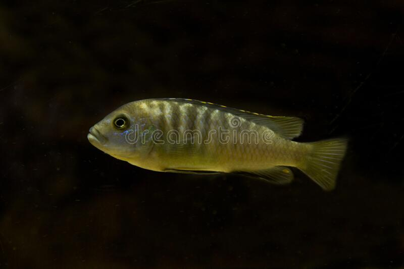 272 Mbuna Cichlid Photos Free Royalty Free Stock Photos From Dreamstime