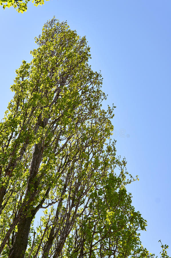 Lombardy poplar tree stock photos