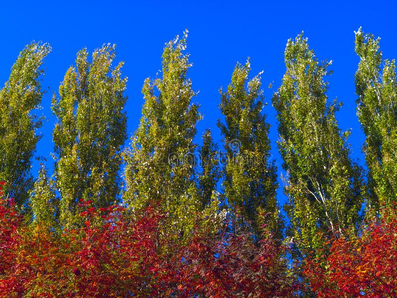 Lombardy Poplar Tree Tops Against Blue Sky On A Windy Day. Abstract Natural Background. Autumn Trees, Colorful Fall Foliage. stock photography