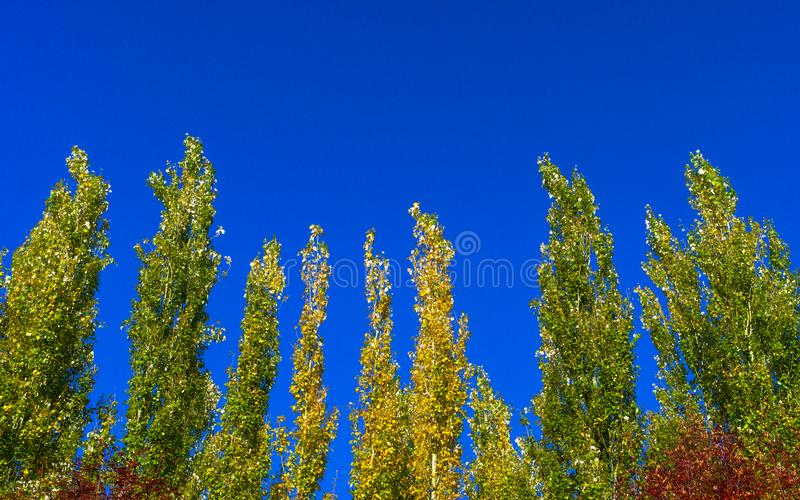 Lombardy Poplar Tree Tops Against Blue Sky On A Windy Day. Abstract Natural Background. Autumn Trees, Colorful Fall Foliage. stock image