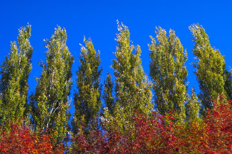 Lombardy Poplar Tree Tops Against Blue Sky On A Windy Day. Abstract Natural Background. Autumn Trees, Colorful Fall Foliage. stock photo
